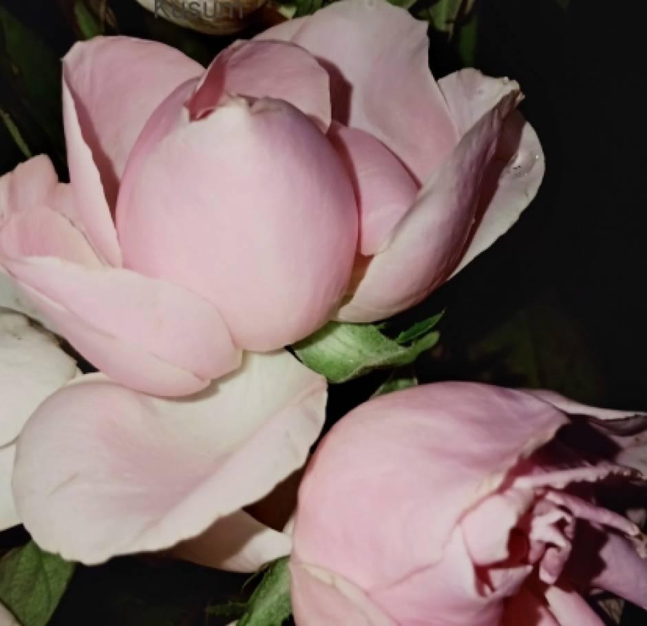 Freshness Of A Light Rose